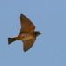 an unladen african swallow