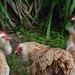 Three buff-white hens standing in front of grass